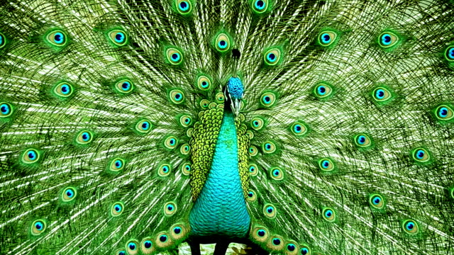 stockvideo's en b-roll-footage met peacock - dierentuin