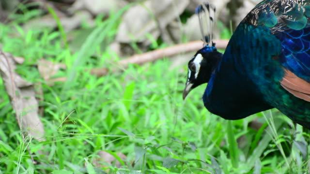 peacock - animal neck stock videos & royalty-free footage