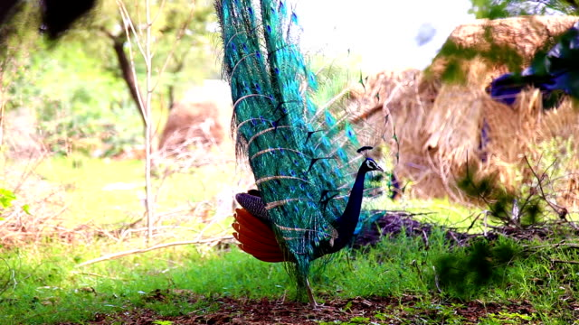 vídeos de stock e filmes b-roll de peacock - pelagem de animal