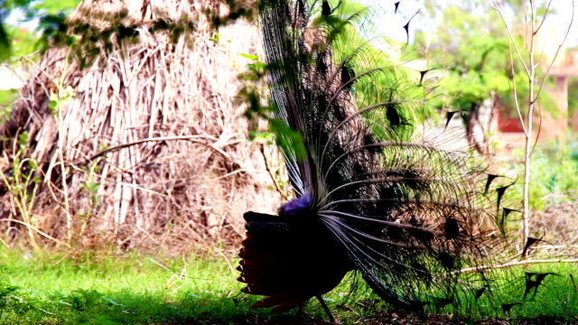 peacock - animale femmina video stock e b–roll