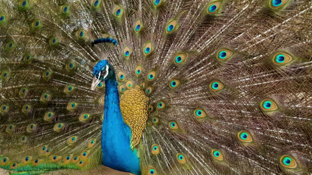 peacock - male animal stock videos & royalty-free footage