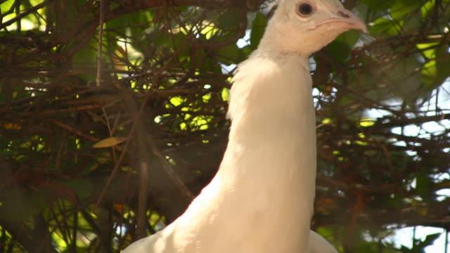 stockvideo's en b-roll-footage met peacock - 2007