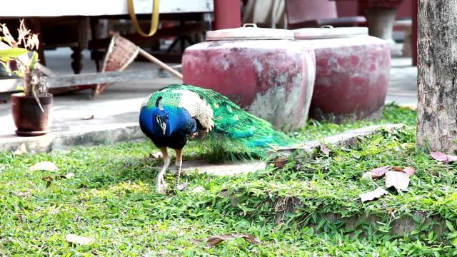 peacock walk in the garden - hand fan stock videos & royalty-free footage