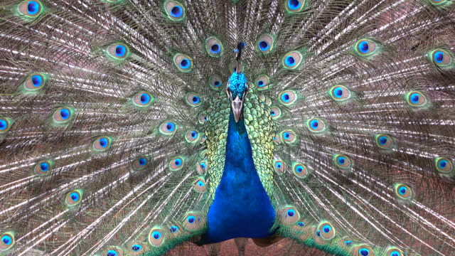 peacock with feathers out - peacock stock videos and b-roll footage