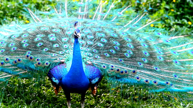 peacock with feathers - peacock stock videos and b-roll footage