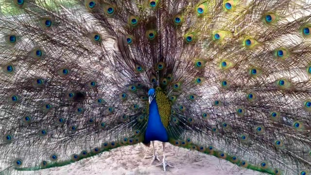 peacock with stretched feathers from front to back view - dancing back to back stock videos & royalty-free footage
