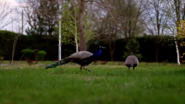 peacocks - animale femmina video stock e b–roll