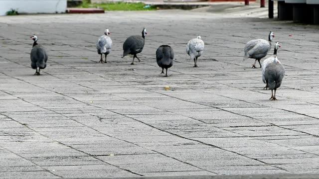 peacocks walking around the temple, bangkok - foraggiamento video stock e b–roll