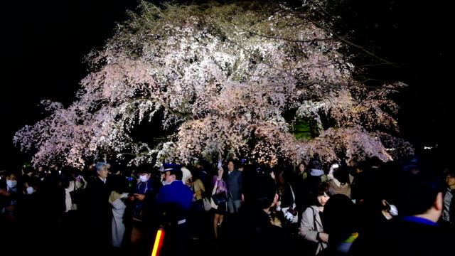 "vídeos de stock, filmes e b-roll de peak sakura season crowds are filling tokyo's rikugien gardens to admire the beauty and take pictures of the famed ""shidarezakura"" weeping cherry... - árvore de folha caduca"