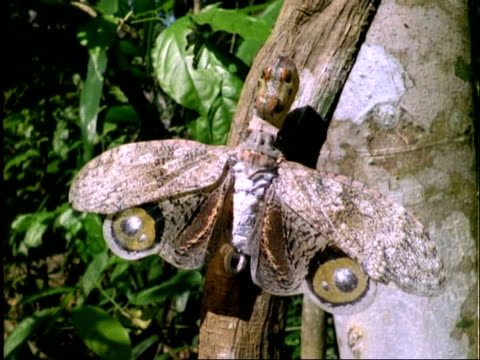 peanut bug on branch, defensive posture. panama - tierfarbe stock-videos und b-roll-filmmaterial