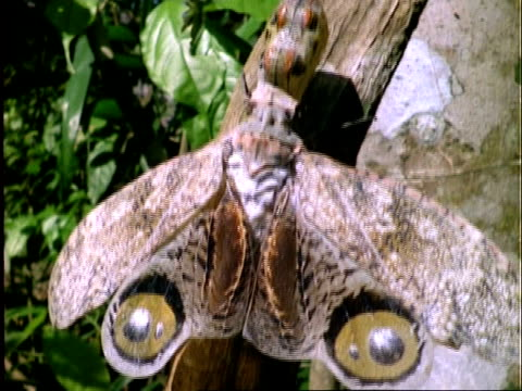 peanut bug, tilt up to cu peanut bug on branch, panama - tierfarbe stock-videos und b-roll-filmmaterial