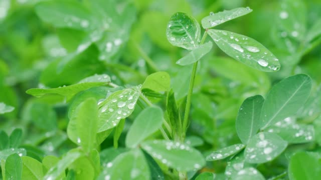 peanut leaf with rain drop - lush stock videos & royalty-free footage