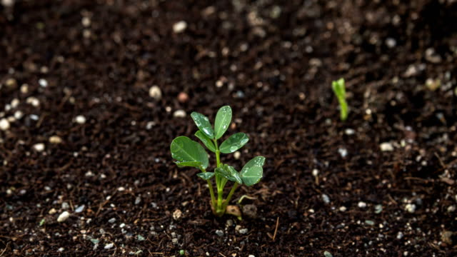 peanut seedlings - germinating stock videos & royalty-free footage