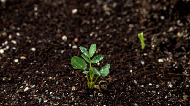 vídeos de stock e filmes b-roll de peanut seedlings - germinação