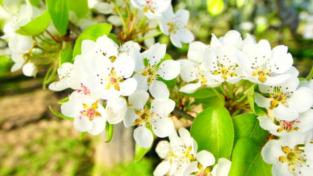 pear blossoms a sunny day - pistil stock videos & royalty-free footage