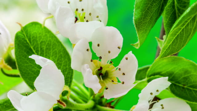 Pear flower blooming in a time lapse