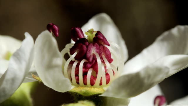 Pear flower opening, close-up