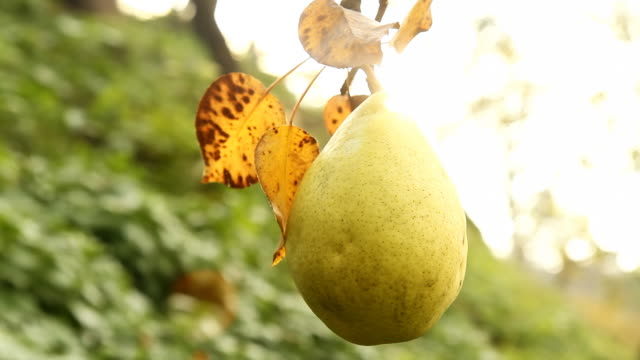 hd dolly: pear hanging from a tree - pear stock videos & royalty-free footage