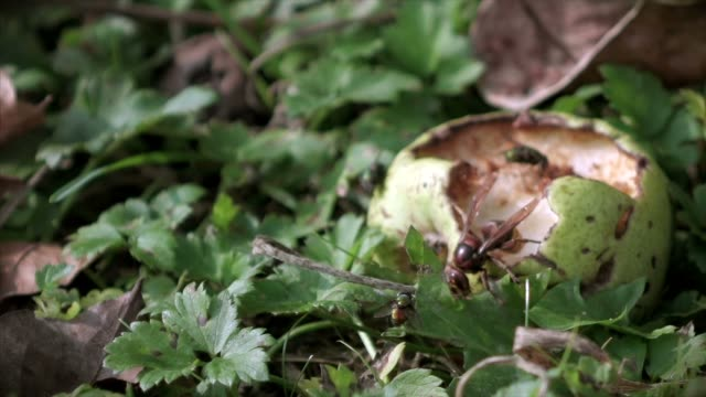 Pear march with hungry hornet