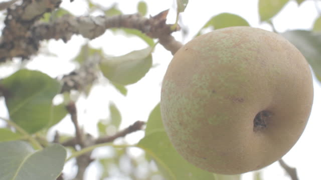 pear on pear tree shaking - pear stock videos & royalty-free footage