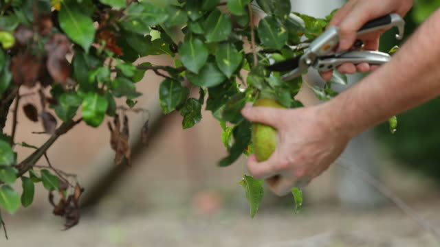 pear picking. - secateurs stock videos & royalty-free footage