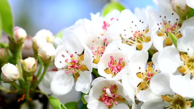 Pear tree flower blooming.