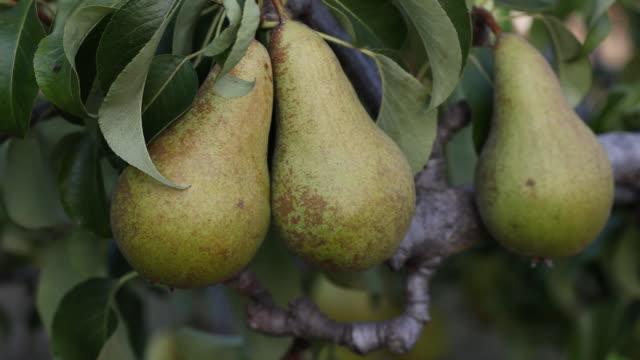 cu zi pear tree / london, uk - fruit tree stock videos & royalty-free footage