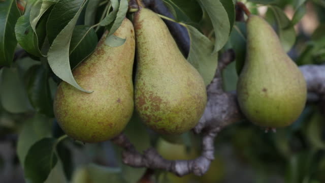 cu zi pear tree / london, uk - zoom in stock videos & royalty-free footage