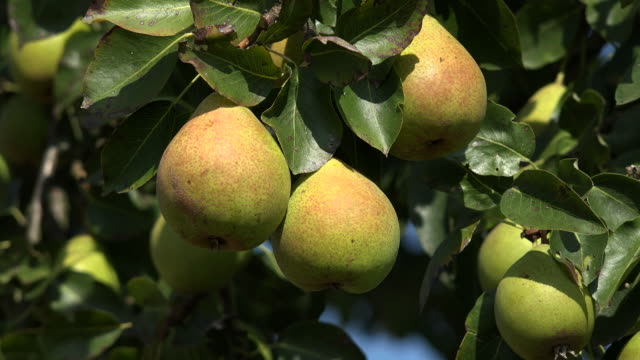 pear tree - pear stock videos & royalty-free footage