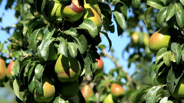 pear tree with fruits - pear stock videos & royalty-free footage