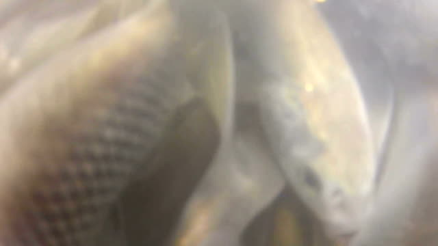 pearl mullet fish - survival for the eggs - mullet fish stock videos & royalty-free footage