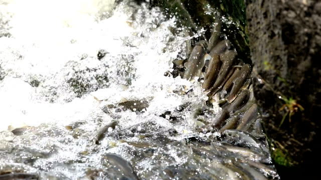 pearl mullet fish - mullet fish stock videos & royalty-free footage