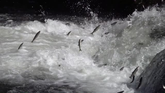 pearl mullets the sole endemic fish species found only in van lake migrate upstream to fresh water in a stream to lay eggs in van turkey on may 31... - migrating stock videos & royalty-free footage