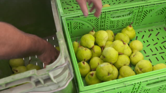 pears being sorted into bin at outdoor fruit stall - pear stock videos & royalty-free footage