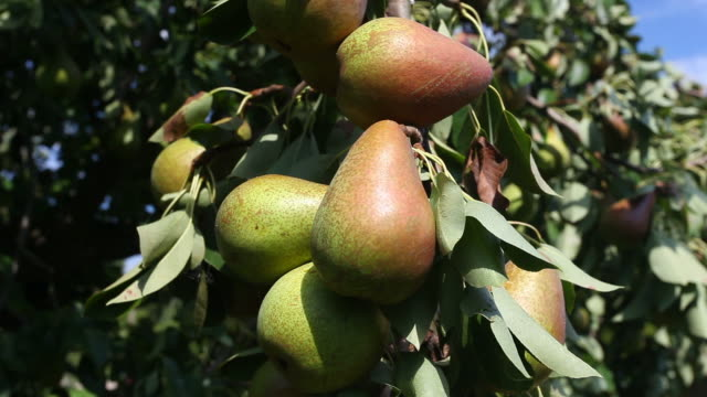 pears on a tree - frische stock videos & royalty-free footage
