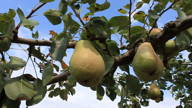 pears - pear stock videos & royalty-free footage