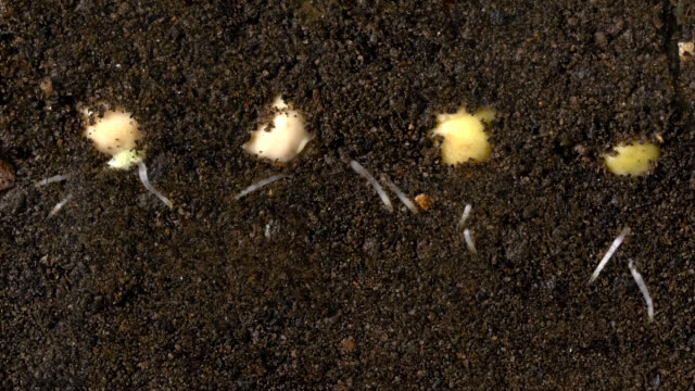 """peas germinating, timelapse"" - seed stock-videos und b-roll-filmmaterial"