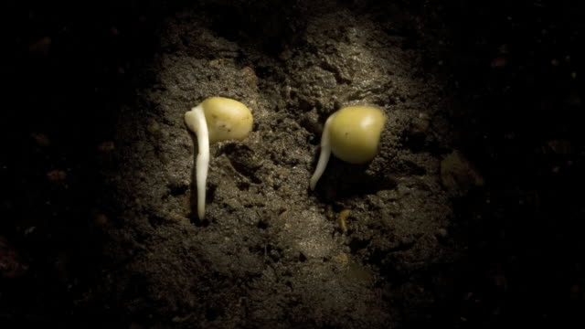 t/l peas (pisum sativum) germinating underground, side view - germinating stock videos & royalty-free footage
