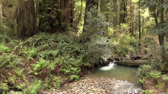 pebbled creek stream flows old growth forest redwood national park california - grove stock videos & royalty-free footage