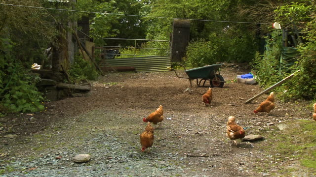 a pebbly yard with a flock of brown chickens - claw stock videos & royalty-free footage