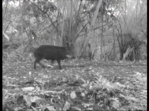peccary pigs wander in the wilderness in pantanal, brazil. - hooved animal stock videos & royalty-free footage