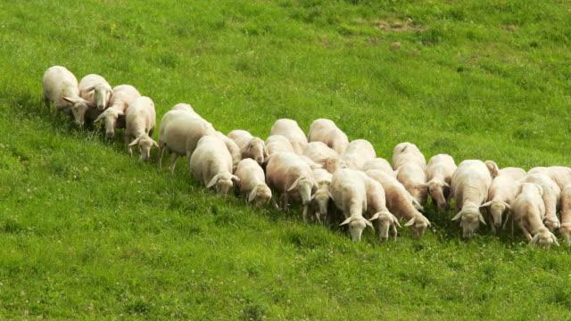pecore - sheepdog stock videos & royalty-free footage