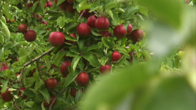 pedestal shot of a tree full of ripe red apples - apple tree stock videos & royalty-free footage