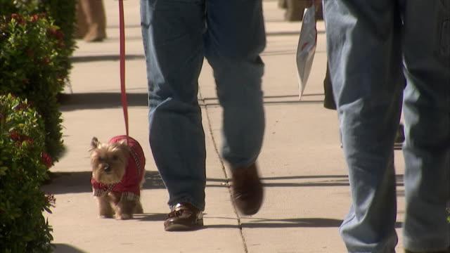 vídeos y material grabado en eventos de stock de ms td pedestrian walking with little terrier in red sweater / palm beach, florida, usa - terrier