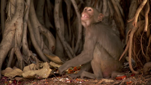 a pedestrian walks past a macaque monkey in india. available in hd - macaque stock videos and b-roll footage