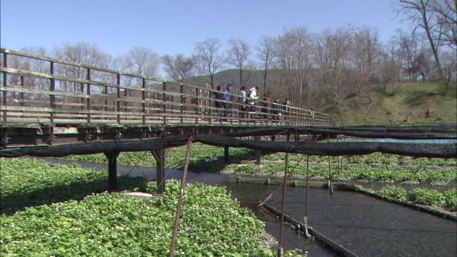 pedestrians cross a bridge spanning wasabi plots. - wasabi stock videos and b-roll footage