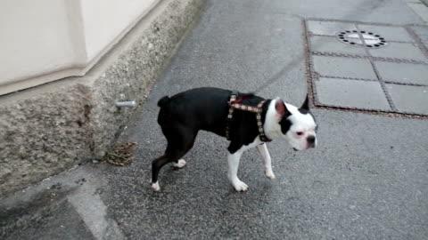 peeing hund - harnapparat stock-videos und b-roll-filmmaterial