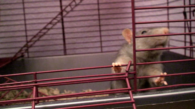 peeking rat - 1080i - peeking stock videos & royalty-free footage