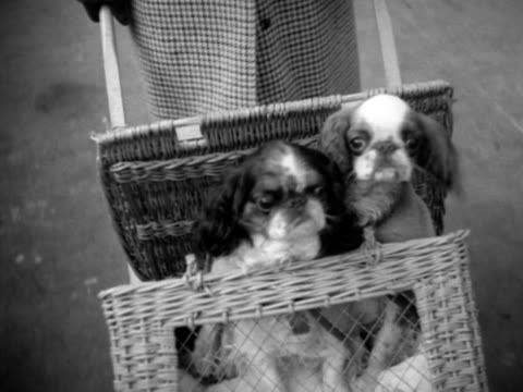 Pekinese dogs are brought to the Crufts dog show in a wheeled basket and a shopping bag