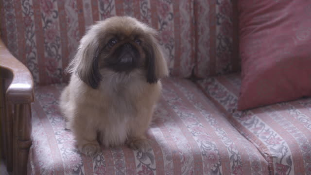 a pekingese dog sitting on a couch and waging his tail. - dog tail stock videos and b-roll footage